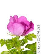 Купить «Wild rose», фото № 25074323, снято 24 июня 2012 г. (c) Иванов Аркадий Николаевич / Фотобанк Лори