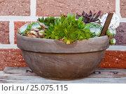 Купить «houseleek, in the pot, Sempervivum», фото № 25075115, снято 28 июня 2015 г. (c) mauritius images / Фотобанк Лори