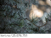 Купить «4 Season winter,abstract,arctic,baby pine,beautiful,bleak,bokeh,botany,branch,chilly,closeup,cold,cold temperature,cool,cool light,covered,crystal,day...», фото № 25076751, снято 17 декабря 2016 г. (c) mauritius images / Фотобанк Лори