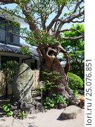 Старое цветущее дерево в красивом саду в святыне Хаседера (Hasedera). Город Камакура, Япония (2013 год). Редакционное фото, фотограф Кекяляйнен Андрей / Фотобанк Лори