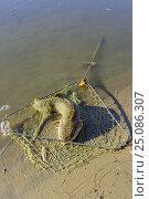 Купить «Пойманный налим в подсачке», фото № 25086307, снято 8 октября 2008 г. (c) Круглов Олег / Фотобанк Лори