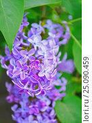 Купить «Сирень, цветущая в саду», фото № 25090459, снято 17 мая 2016 г. (c) Зезелина Марина / Фотобанк Лори