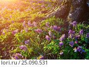 Купить «Весенний лесной пейзаж - цветущая хохлатка плотная у лесного дерева на закате», фото № 25090531, снято 16 апреля 2016 г. (c) Зезелина Марина / Фотобанк Лори