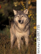 Купить «Grey wolf portrait {Canis lupus} Captive USA», фото № 25097735, снято 16 июля 2018 г. (c) Nature Picture Library / Фотобанк Лори