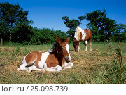 Skewbald mare and foal {Equus caballus} UK. Стоковое фото, фотограф Georgette Douwma / Nature Picture Library / Фотобанк Лори