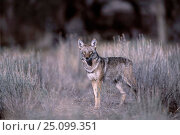 Coyote {Canis latrans} Tucson Arizona USA. Стоковое фото, фотограф Tom Vezo / Nature Picture Library / Фотобанк Лори
