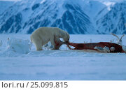 Купить «Polar bear feeds on whale carcass {Ursus maritimus} Churchill Canada», фото № 25099815, снято 18 января 2020 г. (c) Nature Picture Library / Фотобанк Лори