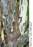 Купить «River red gum tree {Eucalyptus carnaldulensis} bark patterns, South Australia», фото № 25100627, снято 16 августа 2018 г. (c) Nature Picture Library / Фотобанк Лори