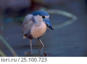 Купить «Boat billed heron {Cochlearius cochlearius} Central america», фото № 25100723, снято 26 марта 2019 г. (c) Nature Picture Library / Фотобанк Лори