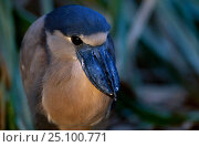 Купить «Boat billed heron {Cochlearius cochlearius} Central america», фото № 25100771, снято 19 июня 2019 г. (c) Nature Picture Library / Фотобанк Лори