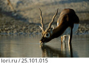 Young male Blackbuck drinking {Antilope cervicapra} Thar Desert W Rajasthan India. Стоковое фото, фотограф Bernard Castelein / Nature Picture Library / Фотобанк Лори