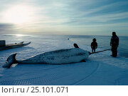 Купить «Inuit hunter with dead Narwhal {Monodon monoceros} Arctic Bay Canadian arctic», фото № 25101071, снято 22 апреля 2019 г. (c) Nature Picture Library / Фотобанк Лори