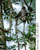 Купить «White nosed guenon in trees {Cercopithecus nictitans} captive occurs Central Africa», фото № 25101451, снято 17 сентября 2019 г. (c) Nature Picture Library / Фотобанк Лори
