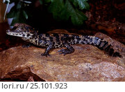 Baby West African dwarf crocodile {Osteolaemus tetraspis} captive. Стоковое фото, фотограф Nick Garbutt / Nature Picture Library / Фотобанк Лори