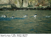 Macaroni penguins porpoising (Eudyptes chrysolophus) returning from feeding. S. Стоковое фото, фотограф Martha Holmes / Nature Picture Library / Фотобанк Лори