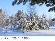 Купить «Заснеженные кедры в лесу на Ямале», фото № 25104095, снято 9 февраля 2017 г. (c) Григорий Писоцкий / Фотобанк Лори