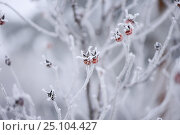 Frosty red berries on a branch. Стоковое фото, фотограф Татьяна Дубчук / Фотобанк Лори