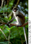 Купить «Greater white nosed guenon {Cercopithicus nictitans} Occurs Central Africa captive», фото № 25106187, снято 17 сентября 2019 г. (c) Nature Picture Library / Фотобанк Лори