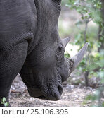 Купить «Black rhinoceros (Diceros bicornis), private game reserve, northern South Africa.», фото № 25106395, снято 8 декабря 2019 г. (c) Nature Picture Library / Фотобанк Лори