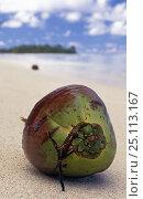 Купить «Coconut in its green husk on a beach in Raratonga, Cook Islands, South Pacific.», фото № 25113167, снято 20 января 2018 г. (c) Nature Picture Library / Фотобанк Лори