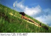 Купить «Easter Island local sliding down Maunga pu'i volcano during haka pei, part of the yearly Easter Island festival, Tapati Rapa Nui. Haka pei involves sliding...», фото № 25115487, снято 18 августа 2018 г. (c) Nature Picture Library / Фотобанк Лори
