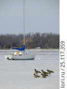 """Купить «Canada geese (Branta canadensis) on the ice with cruising yacht """"Tortuga"""" frozen in on Worden Pond, Rhode Island, USA.», фото № 25117359, снято 17 июля 2019 г. (c) Nature Picture Library / Фотобанк Лори"""