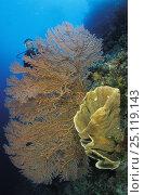 Купить «Diver behind big sea-fan and vase sponge, Toigan islands, Sulawesi, Indonesia.», фото № 25119143, снято 16 января 2019 г. (c) Nature Picture Library / Фотобанк Лори