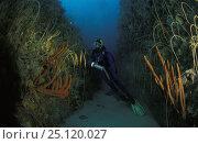 Купить «A scuba diver exploring underwater with Whip corals (Gorgonacea sp) and Orange finger sponges (Neoesperiopsis rigida), Tasmania, Australia», фото № 25120027, снято 16 января 2019 г. (c) Nature Picture Library / Фотобанк Лори