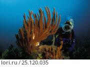 Купить «Diver looking at Orange finger sponge (Neoesperiopsis rigida), Tasmania, Australia», фото № 25120035, снято 16 января 2019 г. (c) Nature Picture Library / Фотобанк Лори