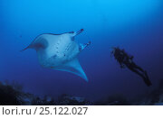 Купить «Manta ray (Manta birostris) with a diver at a cleaning-station, Yap, Micronesia Model released.», фото № 25122027, снято 25 мая 2018 г. (c) Nature Picture Library / Фотобанк Лори