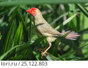 Купить «Star finch (Neochmia ruficauda) in dense grass. Mary River, Northern Territory, Australia», фото № 25122803, снято 17 февраля 2020 г. (c) Nature Picture Library / Фотобанк Лори