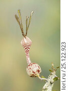 Купить «Ceropegia simoneae flower, a succulent plant from Madagascar», фото № 25122923, снято 10 июля 2020 г. (c) Nature Picture Library / Фотобанк Лори