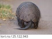 Big hairy armadillo (Chaetophractus villosus) rear view, La Pampa , Argentina. Стоковое фото, фотограф Gabriel Rojo / Nature Picture Library / Фотобанк Лори