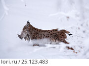 Купить «Lynx (Lynx Lynx), with prey, Bavarian Forest National Park, Germany, January. Captive.», фото № 25123483, снято 19 декабря 2019 г. (c) Nature Picture Library / Фотобанк Лори