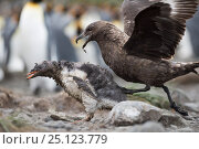 Brown skua (Stercorarius antarcticus) attacking a Gentoo penguin (Pygoscelis papua) chick that has wandered into a King penguin colony. Holmestrand, South Georgia. Стоковое фото, фотограф DAVID TIPLING / Nature Picture Library / Фотобанк Лори