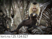 Купить «White-faced capuchin monkey (Cebus capucinus) finding insects in wood, Curu National Park, Costa Rica. March 2015.», фото № 25124027, снято 21 сентября 2019 г. (c) Nature Picture Library / Фотобанк Лори