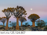 Quiver trees (Aloe dichotoma) at sunset with moon, Namib Desert, Namibia. Стоковое фото, фотограф Jack Dykinga / Nature Picture Library / Фотобанк Лори