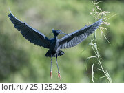 Купить «Black egret (Egretta ardesiaca) landing in reed bed, Ankarafantsika National Park, Madagascar», фото № 25125243, снято 17 июня 2019 г. (c) Nature Picture Library / Фотобанк Лори