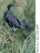 Купить «Black egret (Egretta ardesiaca) perching in reed bed, Ankarafantsika National Park, Madagascar», фото № 25125247, снято 17 июня 2019 г. (c) Nature Picture Library / Фотобанк Лори