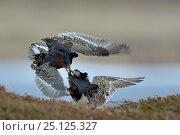 Купить «Ruff (Philomachus pugnax) males fighting at lek, Varanger, Norway, May 2016», фото № 25125327, снято 23 июля 2018 г. (c) Nature Picture Library / Фотобанк Лори