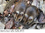 Купить «Wood mice (Apodemus sylvaticus) two side by side, Dorset, UK April.», фото № 25125911, снято 24 октября 2018 г. (c) Nature Picture Library / Фотобанк Лори