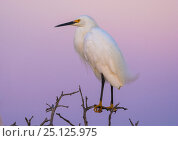 Купить «Snowy egret  (Egretta thula) perched at dusk, La Pampa, Argentina», фото № 25125975, снято 11 июля 2020 г. (c) Nature Picture Library / Фотобанк Лори