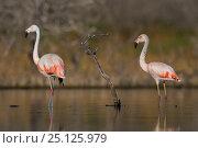 Chilean flamingo (Phoenicopterus chilensis) in water. La Pampa , Argentina. Стоковое фото, фотограф Gabriel Rojo / Nature Picture Library / Фотобанк Лори
