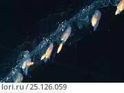 Купить «Siphonophore (Nanomia cara) close up of coiled tentacles, Gulf of Maine, Atlantic ocean. Epipelagic species found up to 300m depth.», фото № 25126059, снято 16 октября 2019 г. (c) Nature Picture Library / Фотобанк Лори