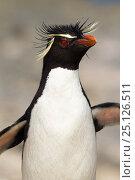 Купить «Rockhopper penguin (Eudyptes chrysocome) adult, returning from sea, Bleaker Island, Falkland Islands, South Atlantic.», фото № 25126511, снято 18 сентября 2019 г. (c) Nature Picture Library / Фотобанк Лори