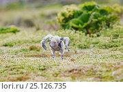 Subantarctic skua (Catharacta antarctica) chick at Enderby Island... Редакционное фото, фотограф Richard Robinson / Nature Picture Library / Фотобанк Лори