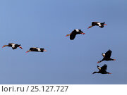 Купить «Black-bellied whistling-duck (Dendrocygna autumnalis) flock of six flying, South Texas, USA, April.», фото № 25127727, снято 23 января 2019 г. (c) Nature Picture Library / Фотобанк Лори