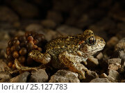 Купить «Midwife Toad (Alytes obstetricans) male carrying eggs wrapped around his back legs until they hatch, Burgundy, France, June.», фото № 25127783, снято 1 апреля 2020 г. (c) Nature Picture Library / Фотобанк Лори