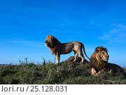 Купить «Lion (Panthera leo) two males on look out, Maasai Mara National Reserve, Kenya», фото № 25128031, снято 5 августа 2020 г. (c) Nature Picture Library / Фотобанк Лори