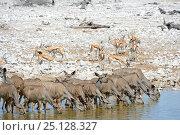 RF - Greater kudu herd (Tragelaphus strepsiceros) and Springbok (Antidorcas marsupialis) drinking at waterhole in dry season. Etosha National Park, Namibia... Стоковое фото, фотограф Eric Baccega / Nature Picture Library / Фотобанк Лори